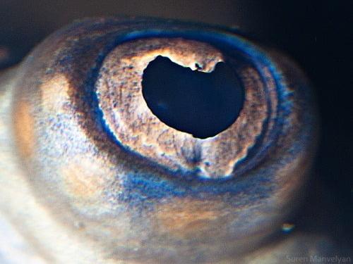 Olho da Arraia
