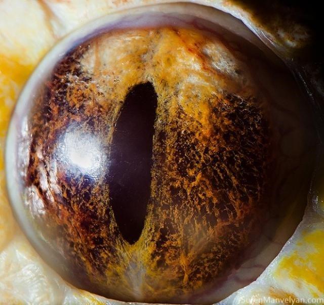 Olho da Cobra Píton-Indiana