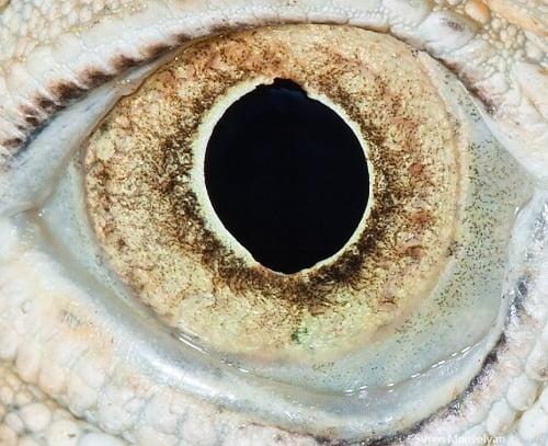 Olho da Iguana