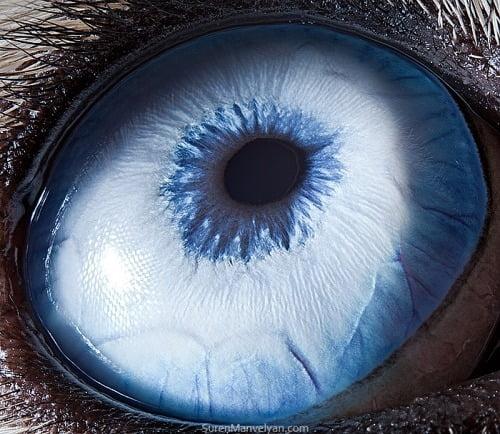 Olho do Husky Siberiano