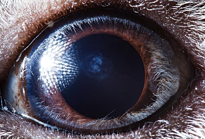Olho do Porquinho da Índia